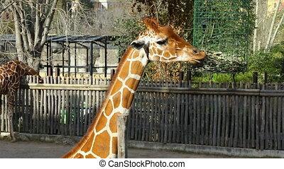 manger, zoo, feuillage, girafe