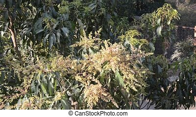 Mango Flowers - Mango flowering season in South Indian...