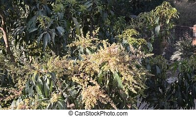 Mango Flowers - Mango flowering season in South Indian...
