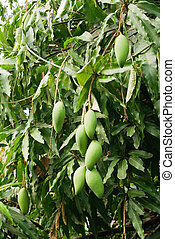 Mango is a bunch on a tree with red ants