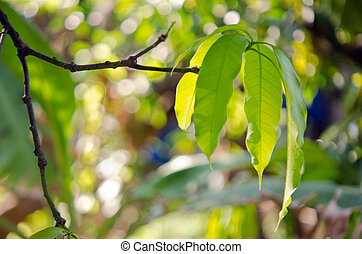 Mango leaf on the tree with bokeh background