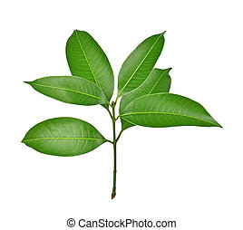 Mango leaf on white background