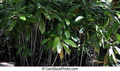 mango nursery seedlings