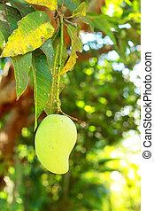 Mango on the tree