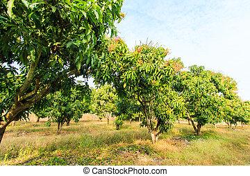 Mango orchards asia Thailand