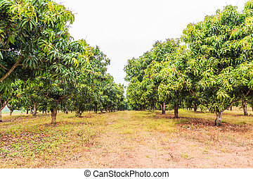 Mango orchards in Thailand