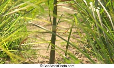 small Mango plant