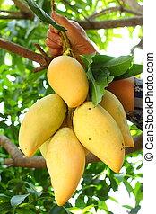 mango., reif