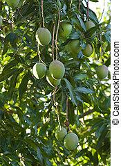 mango - green fruits on mango tree in cuba