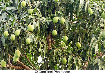 Mango Tree Closeup - Closeup view of a mango tree with...