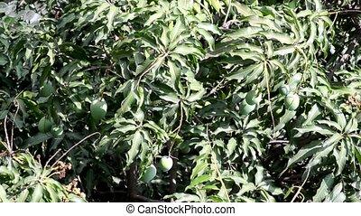 Mango tree leaf swinging in the wind