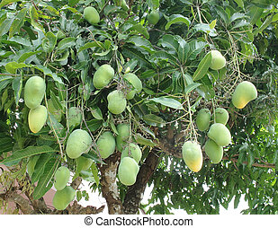 Mango tree with green fruits
