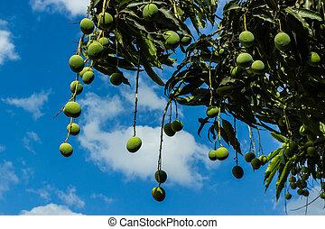 mangoes, baum