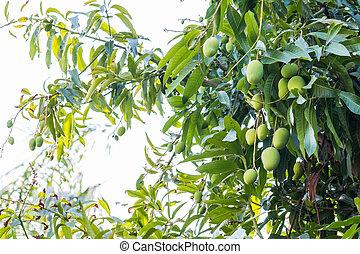 mangoes, frisch, baum, lieb