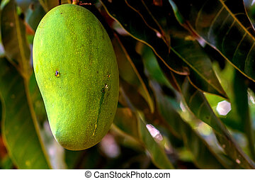 mangoes, grüner baum