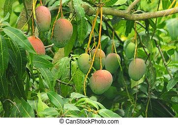 Mangoes on a mango tree - Close up of mangoes on a mango ...