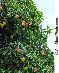 Mangoes on a mango tree, in Chapada Diamantina National...