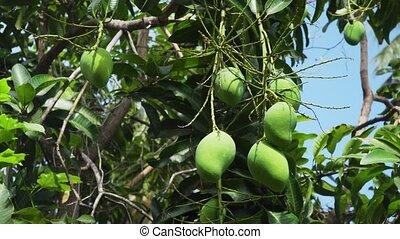 Mangoes on mango tree. - Mango tree with fruits. Bunch of...