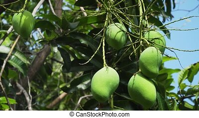 Mangoes on mango tree. - Mango tree with fruits. Bunch of...