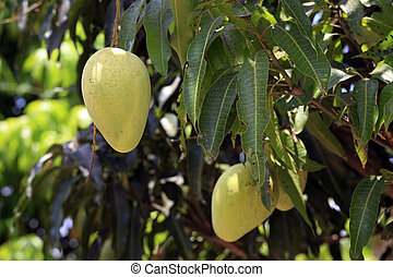 Mangoes Ripening on Tree