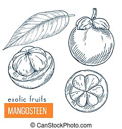 Mangosteen. Hand drawn vector illustration