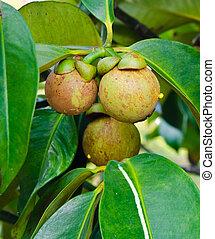 fresh mangosteen (Garcinia mangostana Linn.) on tree in garden at Thailand