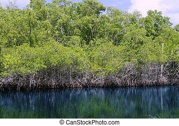 mangroove, rivière, dans, everglades, floride, paysage, vue, nature