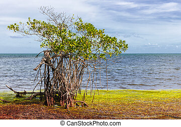 Mangrove at Florida Keys - Single mangrove tree growing near...