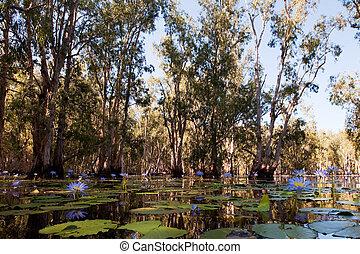 Mangrove trees in water with beautiful blue Lotus flowers