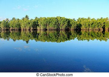 Mangrove forest topical rainforest