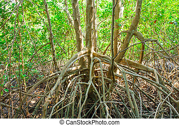 mangrove forest when sea water run down in Thailand