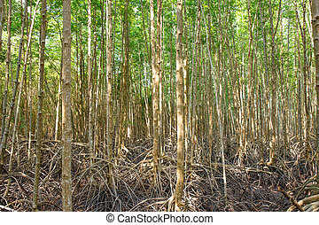 mangrove forest when sea water run down in Thailand