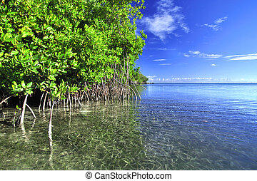 Mangroves growing in shallow lagoon in the bay of Isla Culebra in Puerto Rico