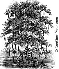 Mangrove or Mangal or Mangrove swamp or Mangrove forest, vintage engraving. Old engraved illustration of Mangrove tree in the water.