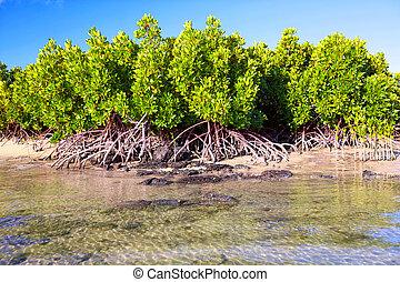 Mangrove and roots on sand beach, Mauritius Island