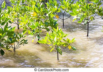 mangrove, reforestation