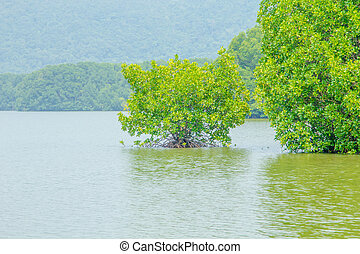 Mangrove tree growning in water on mangrove forest