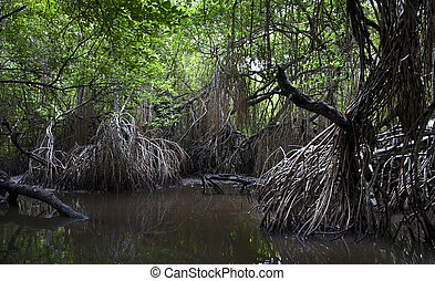 mangrove swamps - Closeup of mangrove roots on the coast in ...