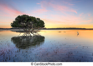 Mangrove tree and white egret , type of heron, in the morning showing the mangroves distinctive peg roots sticking up out of the water.