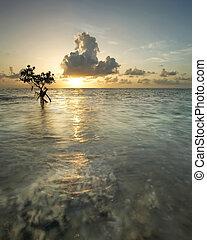Mangrove Tree at Sunrise - Majestic sunrise with mangrove...