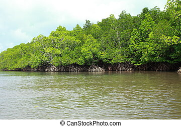 Mangrove tree in Havelock Island in Andamans, India.