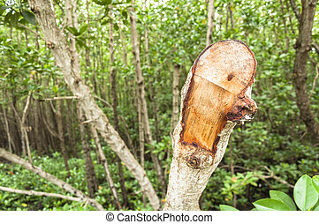 Mangrove trees are cut
