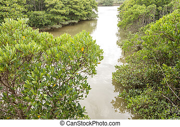 Mangrove trees - Gentle river between mangrove trees in...