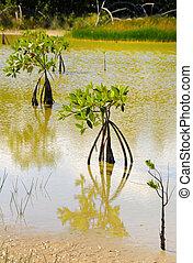 Mangrove trees growing, cuba - Detail of three mangrove...