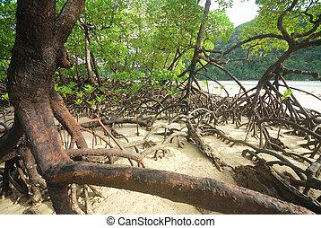 Mangrove trees - Mangrove plants growing in wetlands. A...