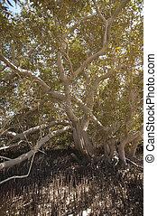 mangrovenbaum, weißes, baumstamm