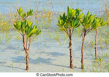 Mangroves growing on Tampa Bay, Florida