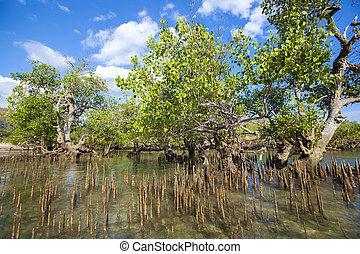 mangrovia, albero