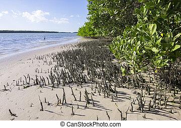 mangrovie, aeratore,  Florida, radici, nero