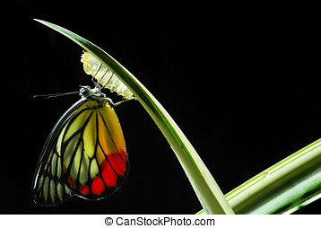 mania, nature., asclepiade, nato, bambino, farfalla monarca